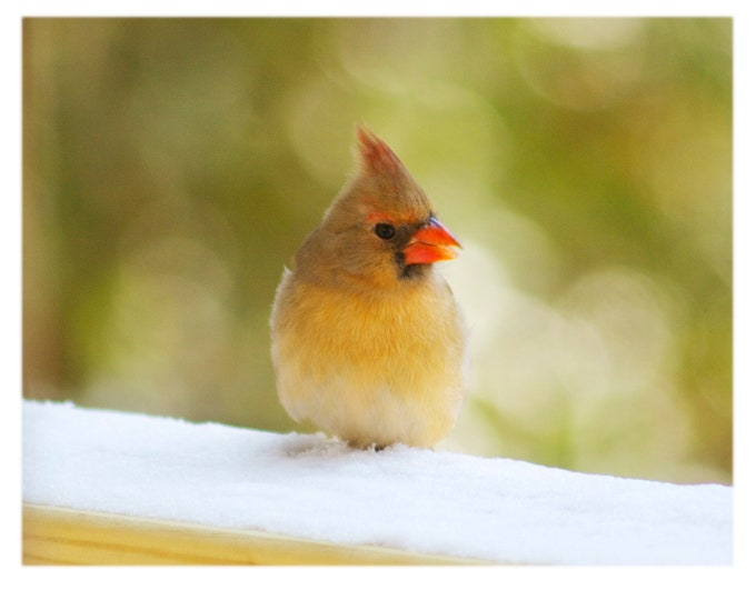 Featured listing image: Cardinal in the Snow