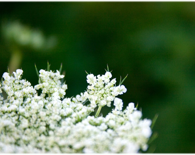 Featured listing image: Queen Anne's Lace