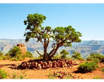South Kaibab Tree