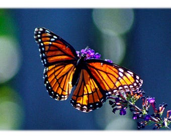 Viceroy Butterfly on Blue
