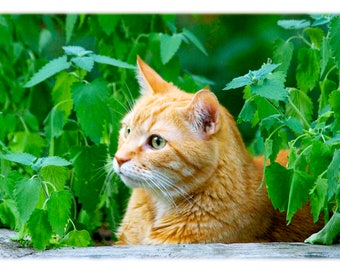 Orange Cat in Catnip