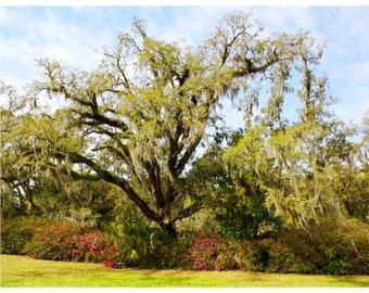 Live Oak in Spring - SC