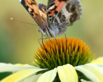 Butterfly on Yellow Cone Flower