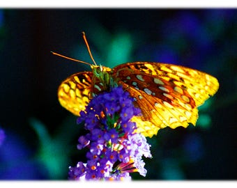 Great Spangled Frittilary Butterfly