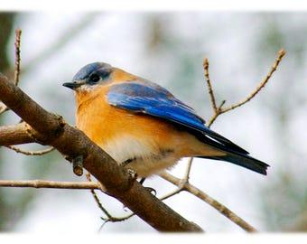 Eastern Bluebird, Wild Bird Photography - Nature, Animal Home Decor Fine Art Print or Note Cards