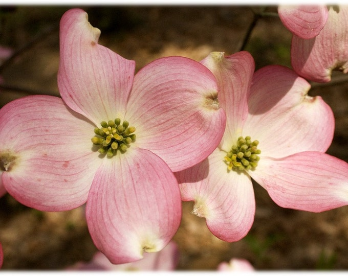 Featured listing image: Pink Dogwood Blossoms