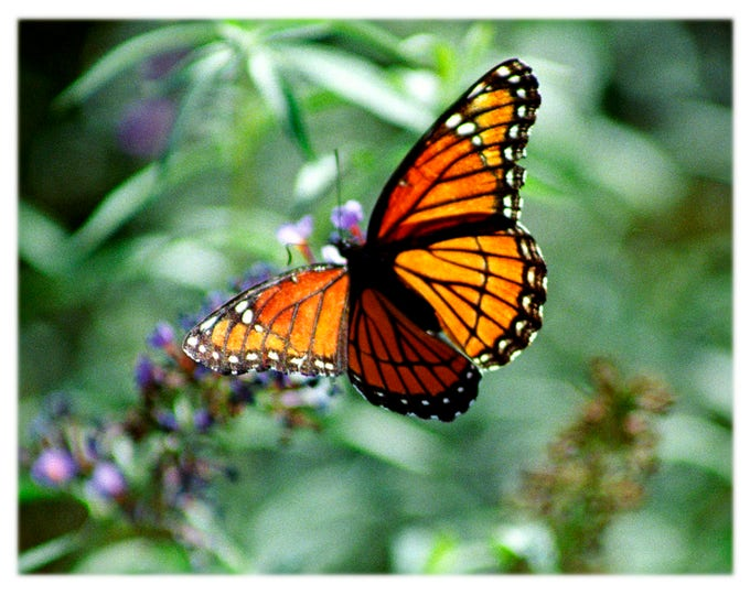 Featured listing image: Viceroy Butterfly