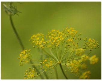Golden Yarrow, Nature Photography