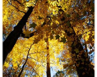 Sunlit Sweetgum Trees