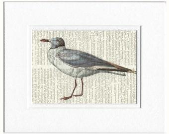 sea gull, grey capped gull print