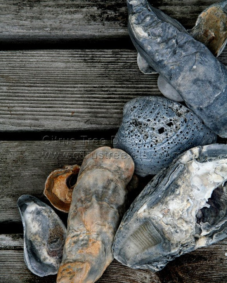 Art poster  Shell photograph  Beach Photography  seashells image 0