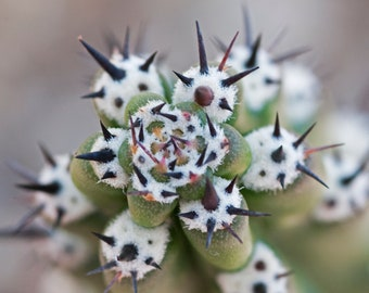 Harrissia cactus spines, nature photography