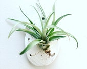 Scandinavian Style Airplant Wall Holder