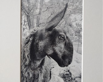 Margaret - Bluefaced leicester ewe black and white print
