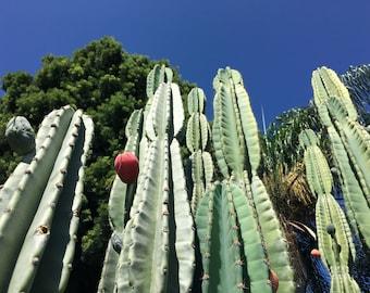 Peruvian Apple Cactus Seeds (Cereus repandus, C. peruvianus) Succulent Seeds