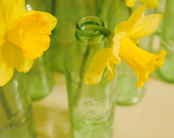 Before the Frost – daffodil photograph