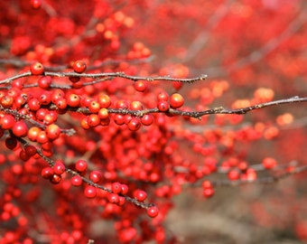 Red Holly Art Print, Nature Photography Branch Autumn Decor Winter Decor Wall Art Wall Decor Woodland Home Decor