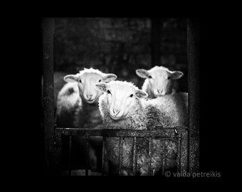 Sheep photo 6x6 fine art photography print Sheep photography in black and white Signed photo print Sheep art Animal photo by Vaida Petreikis