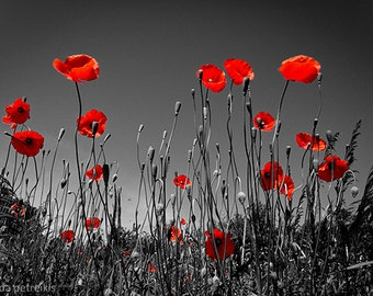 In the poppy field 16x24 inches fine art photograph Blood red poppy photo Poppy day wall decor Scarlet red wall art Poppies Remembrance Day