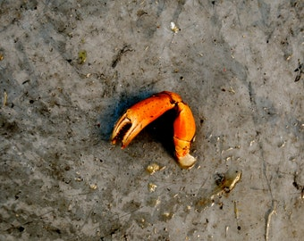I'm So Lucky - Wall Art - Photograph - Print - Color Photograph - Home Decor - Crab - Crab Claw - Maine
