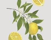 Citrus limon - Print