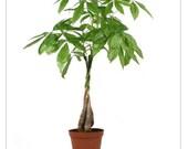 Braided Money Tree Live Plant