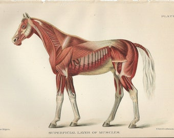 Vintage Book Plate -  Muscles / Superficial Layer Of Muscles / 1890 / Horse  / Horse Anatomy / Anatomy