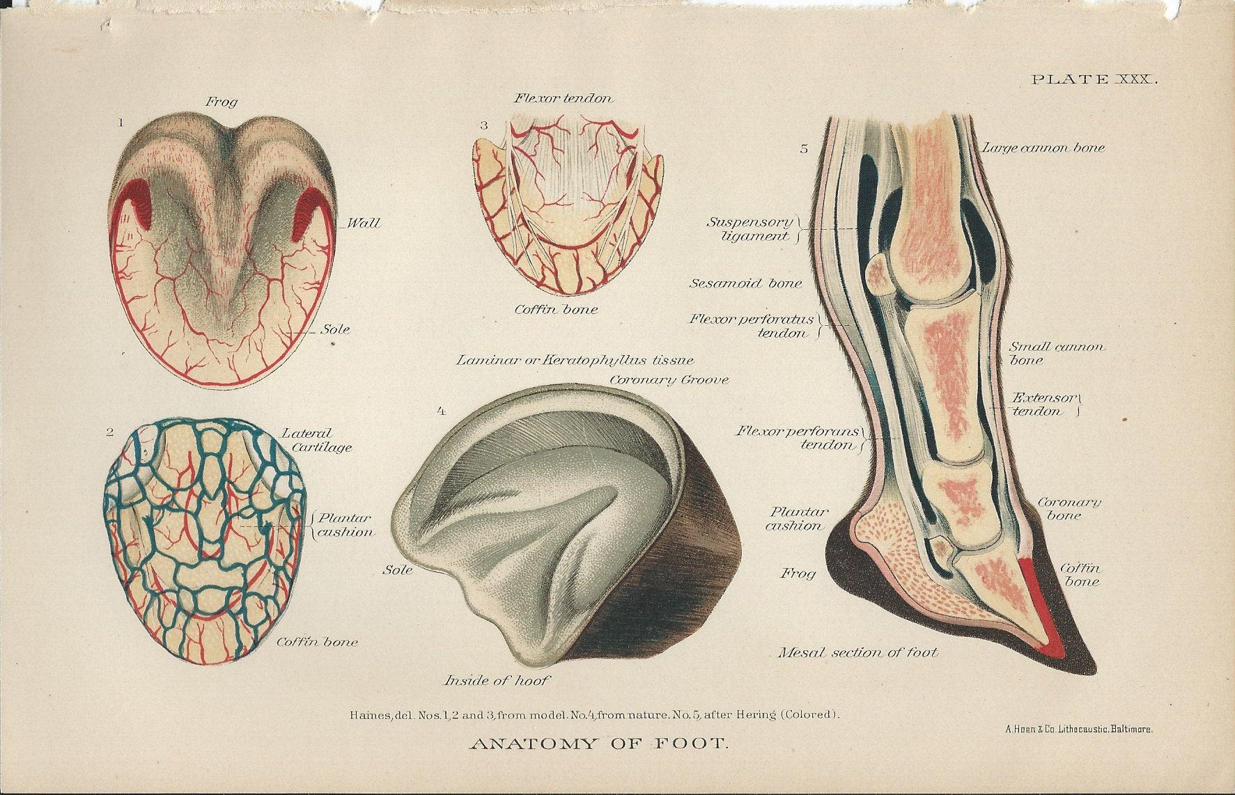 Vintage Book Plate Feet / Anatomy of Foot / 1890 / Horse / | Etsy