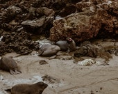 Elephant Seal Yawning Matte Print