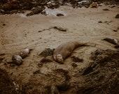Elephant Seal Beaching Matte Print