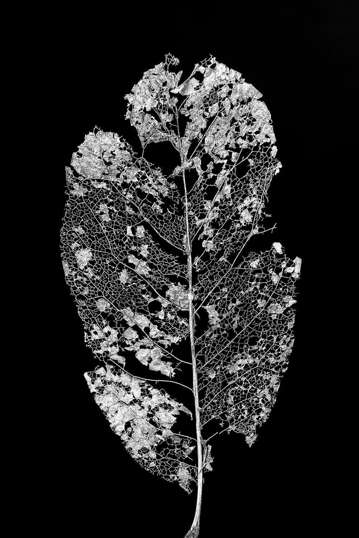 Leaf skeleton black and white photograph macro leaf photography leaf photography nature photography