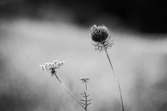 Landscape with Queen Anne's Lace, Black and White Photograph, Landscape  Photography, summer photography, queen anne's lace