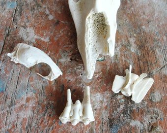 Instant Bone Collection, Snake Skull, Teeth, Curiosities Collection Beach found Bones
