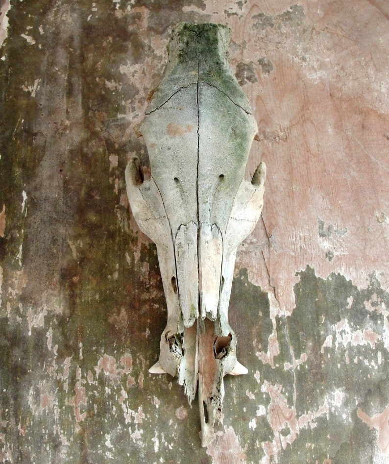 Hog Skull Real Skull Wild Boar with Tusks Natural Found image 0