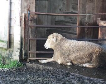 Sheep photography. Sheep Portrait Art. Maine farm animal print, neutral home decor. White Woolly Sheep print. Large nursery wall art
