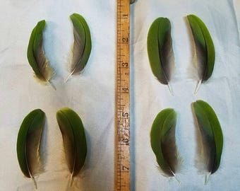 Amazon Parrot Feathers for crafting, matched pairs perfect for earrings, natural green colored  cruelty free feather collection #ha5