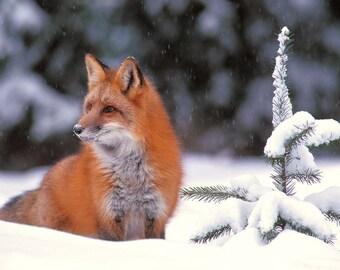 Winter Wildfire - Red Fox - 8x10 Original Fine Art Photograph