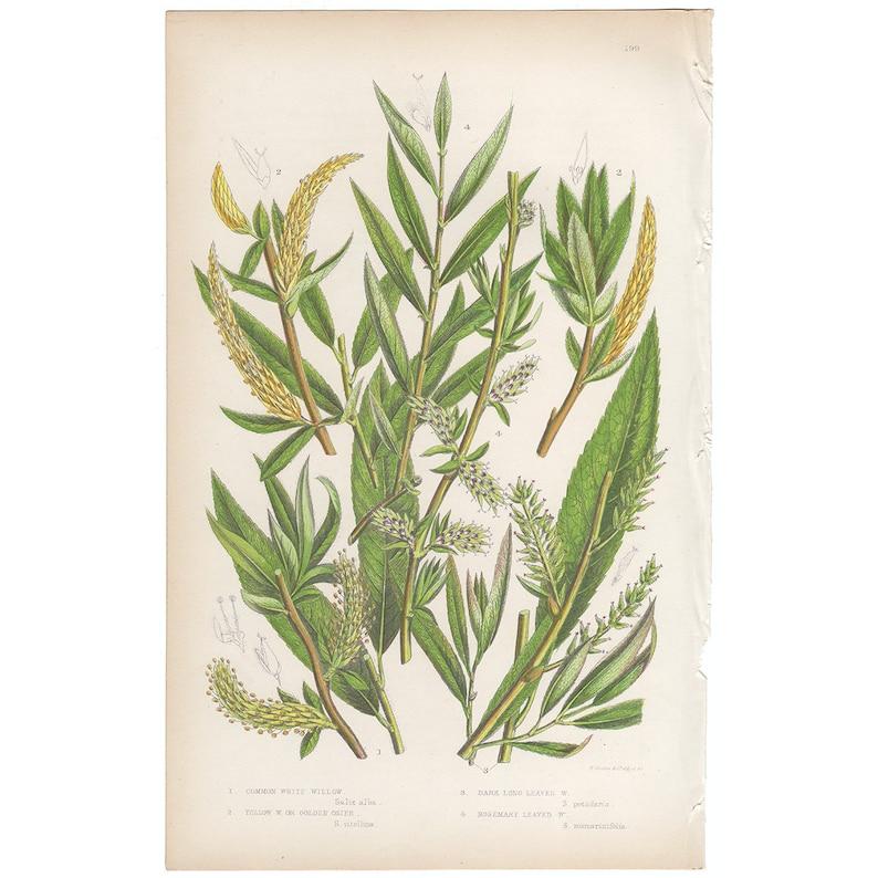 Pl 199 Common White Willow chromolithograph Anne Pratt antique 1st edition 1860 vintage botanical print Yellow Willow or Golden Osier