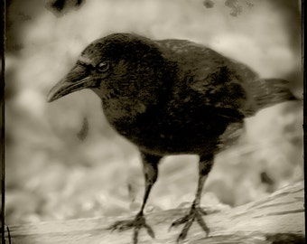 Sepia Crow Raven Photograph--Black Crow Watching--Fine Art