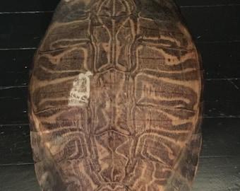 Organic Modern Turtle Shell naturally Shed 9 x 12