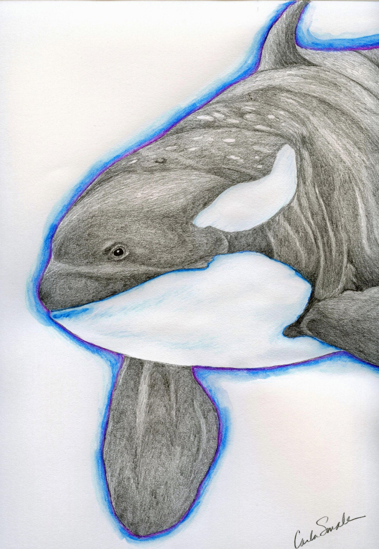 Orca killer whale original pencil drawing marine wildlife art carla smale