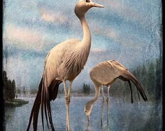 Cranes at Yellowstone, 5x5 original, signed, fine art photograph
