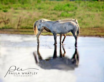 White horses reflected, horse water reflection, two horse photo, Horse Art Print, white horse print, Horse Photography,  white horse photo