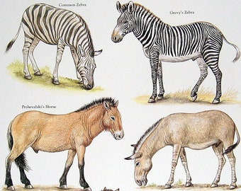 Common Zebra, African Ass, Onager, etc.  Vintage 1984 Animals Book Plate