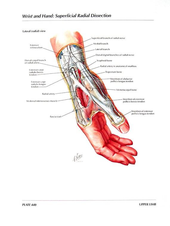 Anatomie-Grafik Handgelenk und Hand Arterien und Nerven der | Etsy