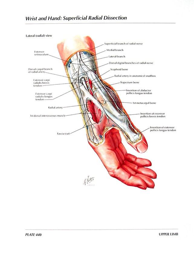Impresión de anatomía muñeca y mano arterias y nervios de | Etsy