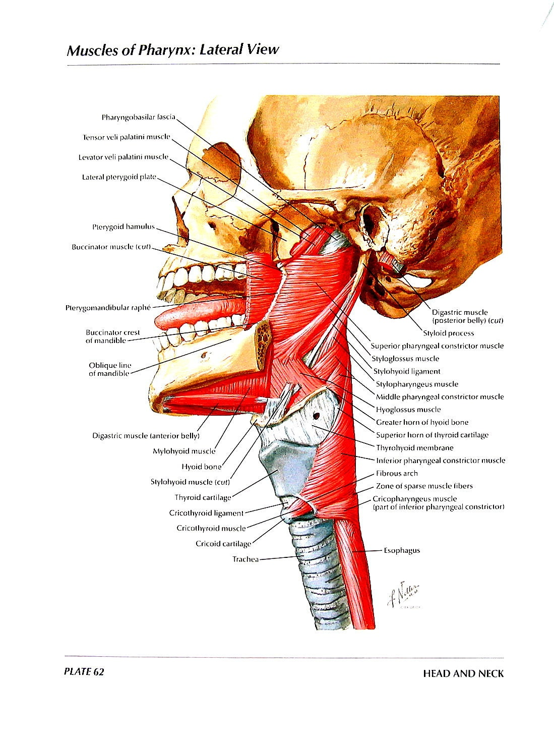 Anatomy Print Muscles of Pharynx Lateral View Posterior | Etsy