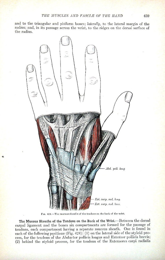 The Human Hand Tendons Of The Back Of The Wrist 1918 Etsy