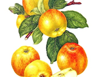 Apple Print - Gravenstein Apples - Kitchen Decor - Wall Hanging - Vintage 1993 Book Page - 9 x 8