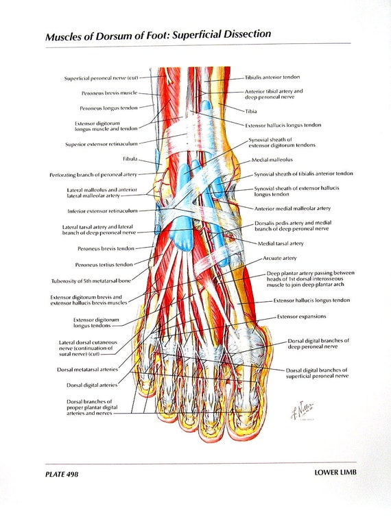 Anatomy Print Muscles Of Dorsum Of Foot Superficial Etsy
